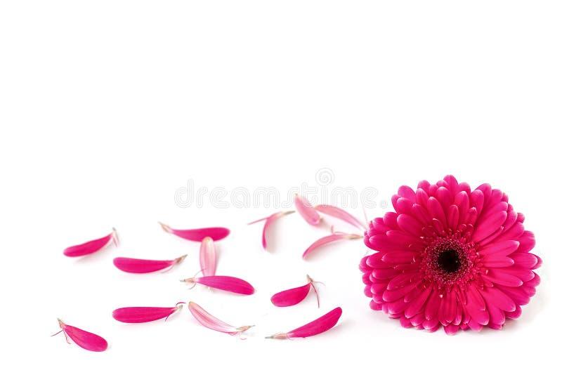 Цветок gerbera и лепестков изолированных на белой предпосылке стоковые изображения rf