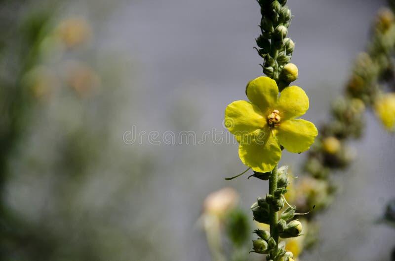цветок mullein стоковые изображения rf