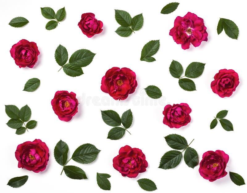 Цветочный узор сделанный из изолированных цветков розы пинка и листьев зеленого цвета на белой предпосылке Плоское положение стоковые изображения rf