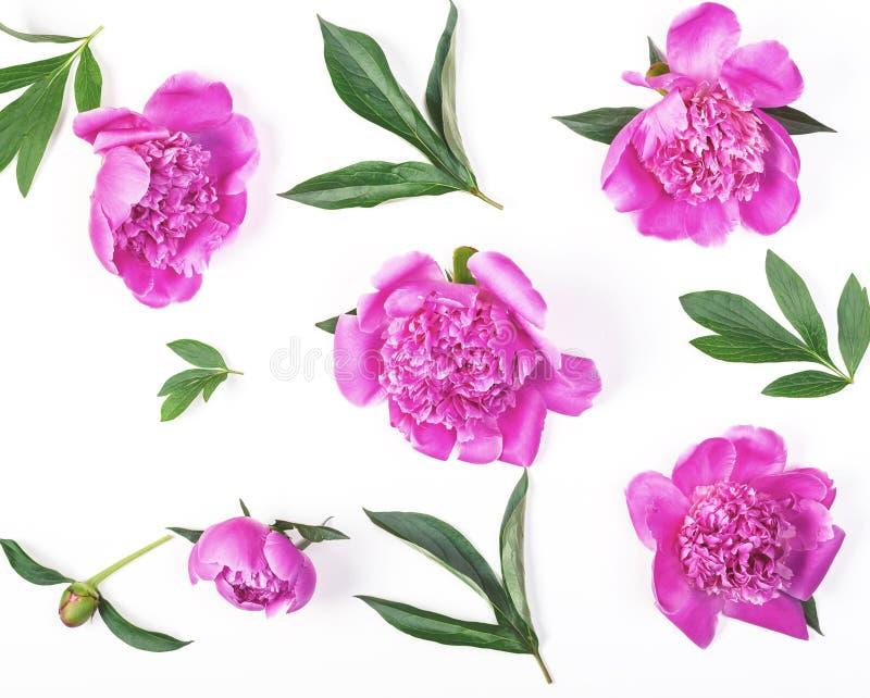 Цветочный узор сделанный из розовых изолированных цветков и листьев пиона на белой предпосылке Плоское положение стоковые изображения
