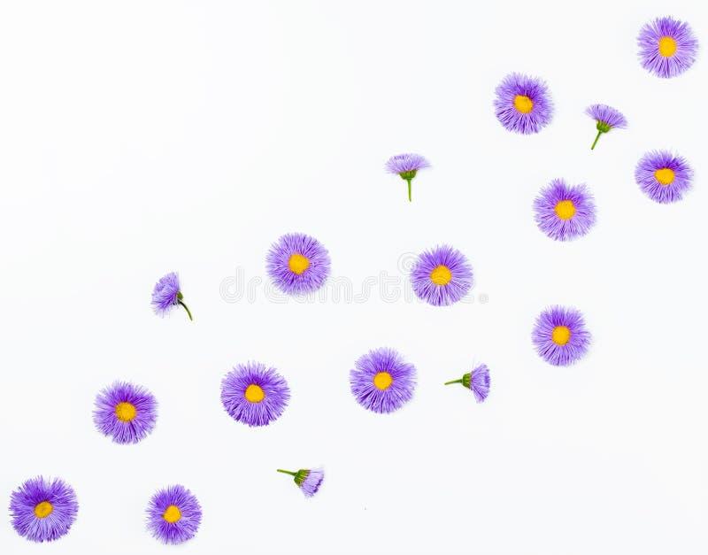 Цветочный узор сделанный фиолетовых астр на белой предпосылке Плоское положение стоковые фотографии rf