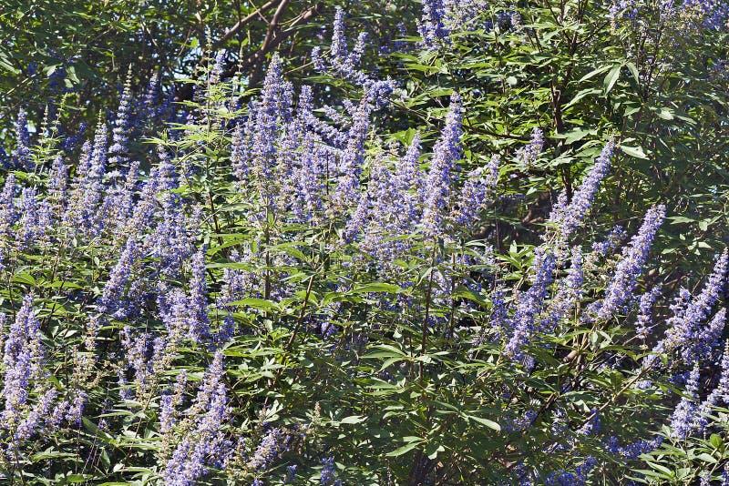 Целомудренное дерево в цветении стоковая фотография