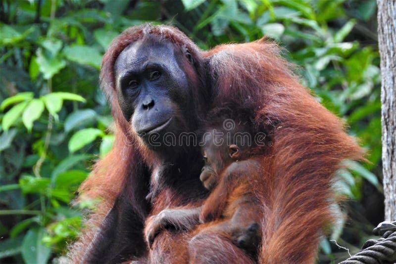 Центр реабилитации орангутана Sepilok орангутана стоковое изображение