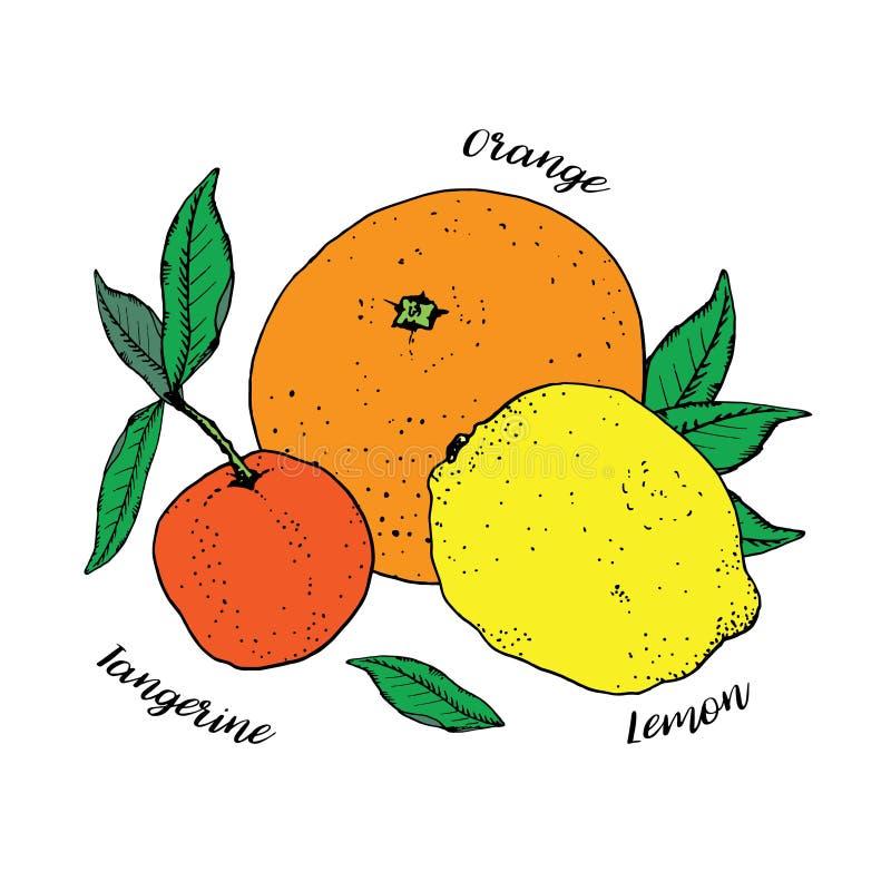 Цитрусовые фрукты с зелеными листьями изолированными на белой предпосылке Мандарин апельсина, лимона и tangerine также вектор илл иллюстрация вектора