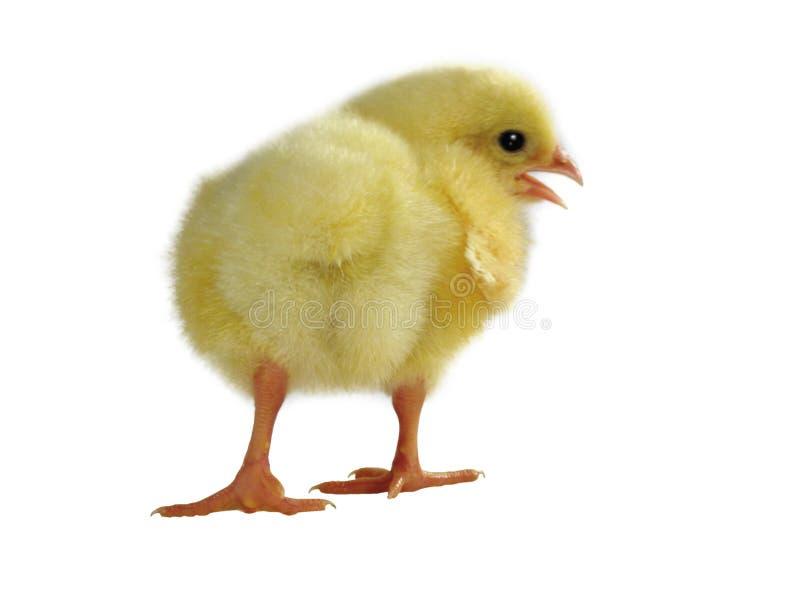 Цыпленоки младенца новорожденного желтые - изображение запаса стоковое фото