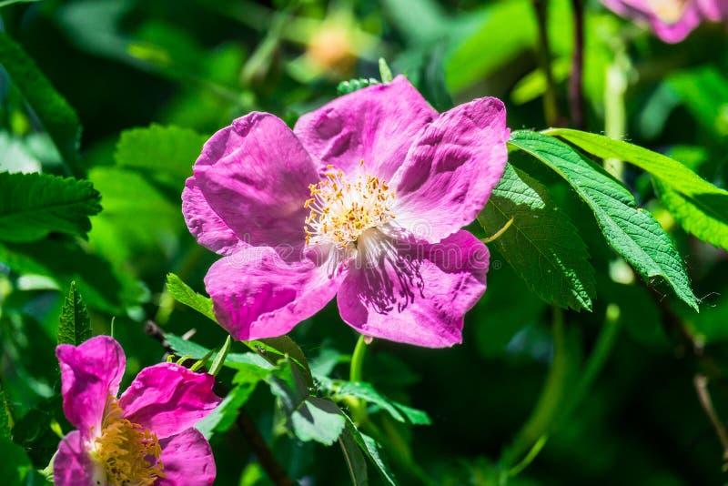Часть сочного кустарника плода шиповника, богато обитая с розовыми цветками под золотым солнечным светом Влюбленность, счастье, w стоковое изображение