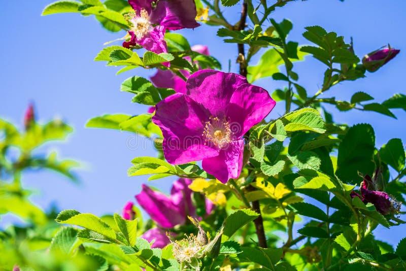 Часть сочного кустарника плода шиповника, богато обитая с розовыми цветками под золотым солнечным светом Влюбленность, счастье, w стоковые фото