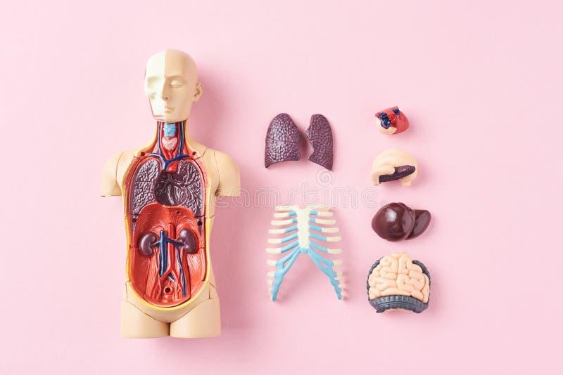 Человеческий манекен анатомии с внутренними органами на розовом взгляде сверху предпосылки стоковое фото