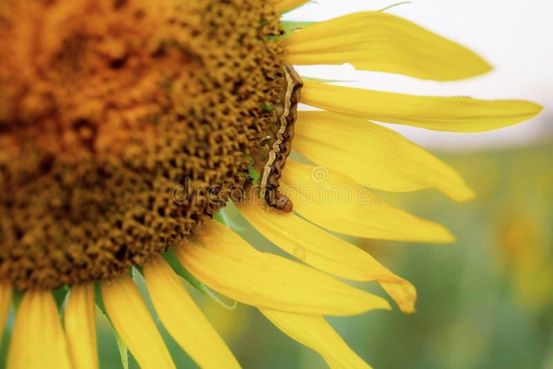 Червь на солнцецвете стоковая фотография