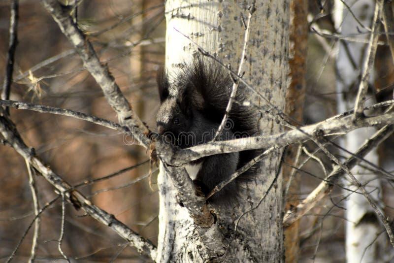 Черная белка сидя на ветвях дерева стоковые фото