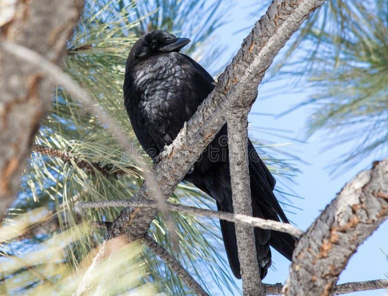 Черная ворона в дереве в Centennial, Колорадо стоковая фотография