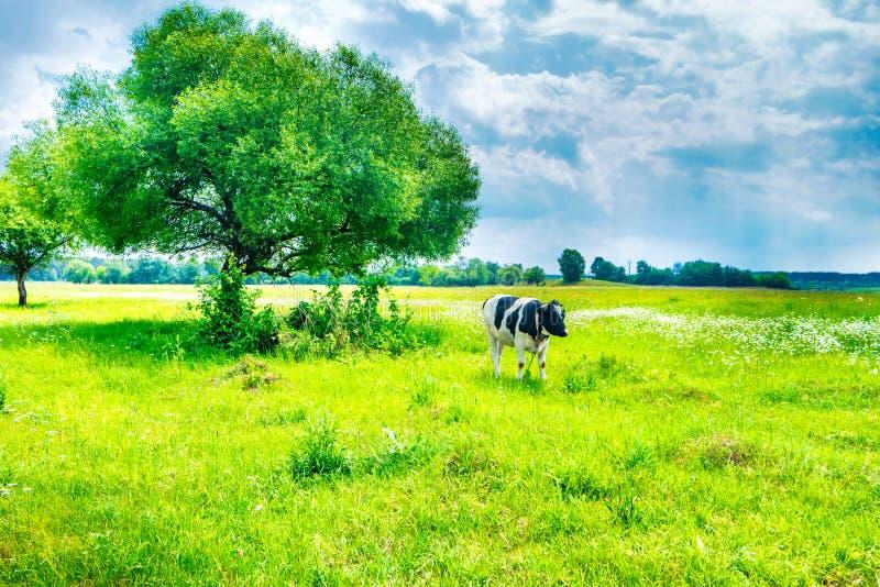 Черная корова на зеленом поле стоковые фотографии rf