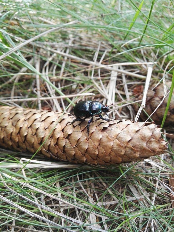 Черный жук сидя в конусе стоковая фотография