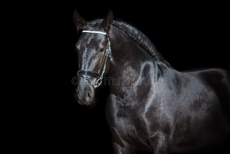 Черный портрет жеребца frisian стоковые изображения