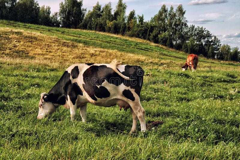 Черно-белые коровы в травянистом поле стоковое фото rf