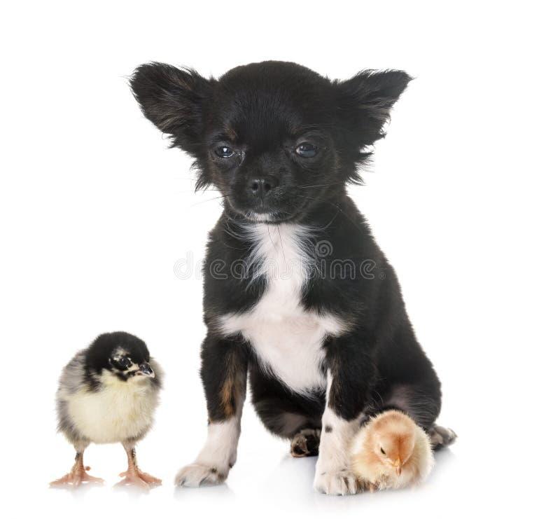 Чихуахуа и цыпленок щенка стоковое изображение rf