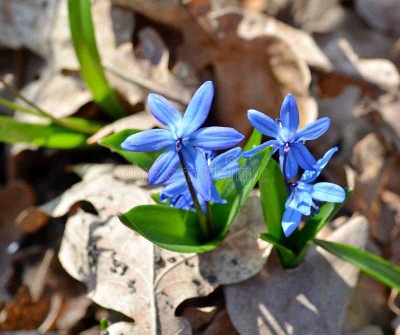 Чувствительное цветене в лесе, предвестники siberica scilla цветков весны стоковые фотографии rf