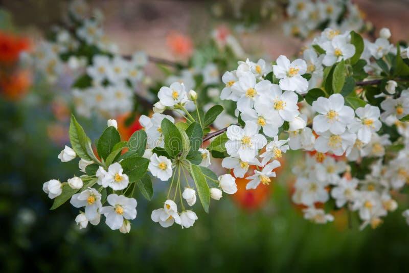 Хворостина с белым парком цветений яблока весной стоковая фотография rf