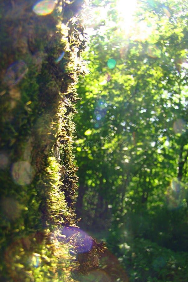 Хобот дерева перерастанного со слепимостью мха и солнца стоковое изображение