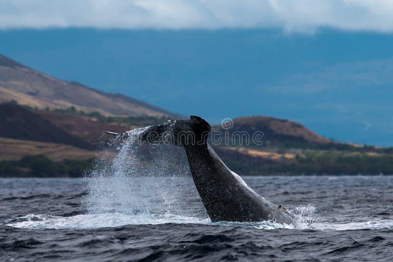 Ход peduncle горбатого кита стоковая фотография