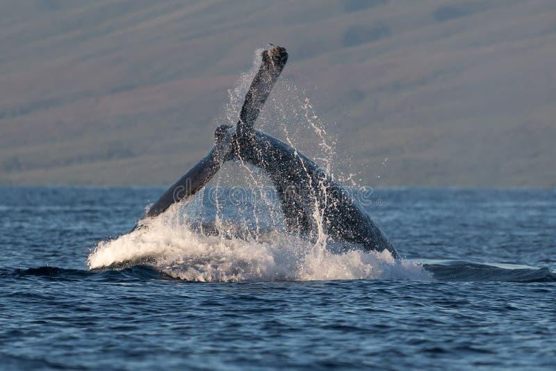 Ход peduncle горбатого кита около Lahaina в Гаваи стоковые фотографии rf
