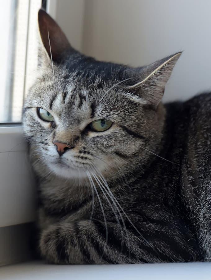 Раздражанный портрет кота tabby стоковая фотография rf