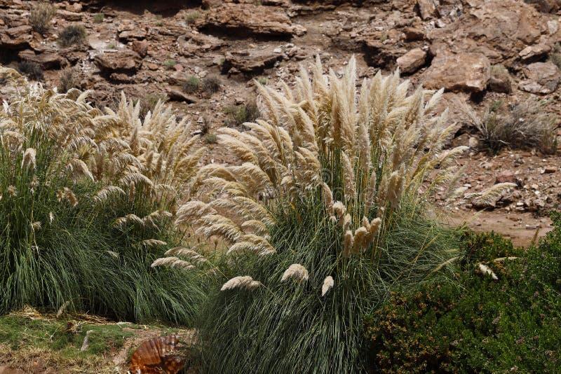 Растительность в гористых местностях пустыни Atacama, Чили стоковая фотография rf