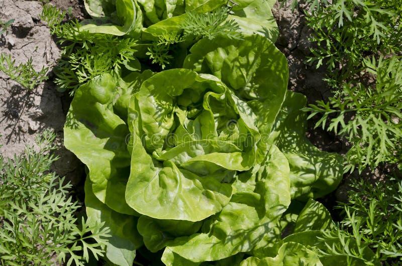 Растя био салат в северной Болгарии стоковая фотография rf