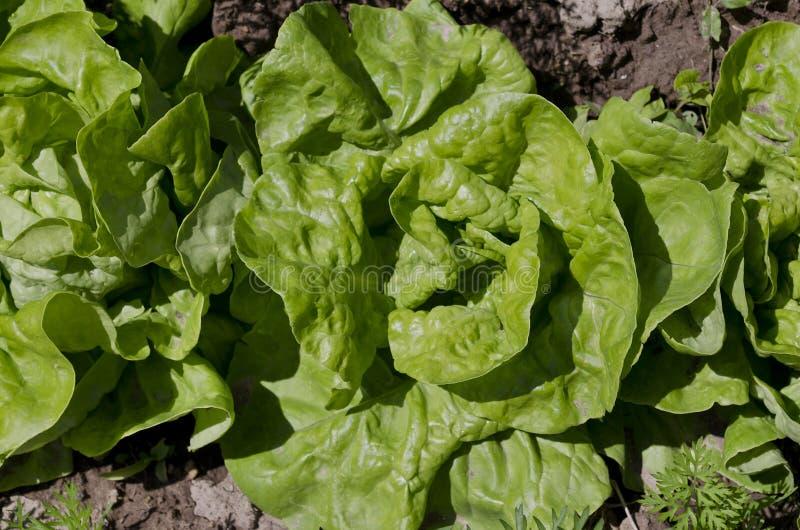 Растя био салат в северной Болгарии стоковая фотография
