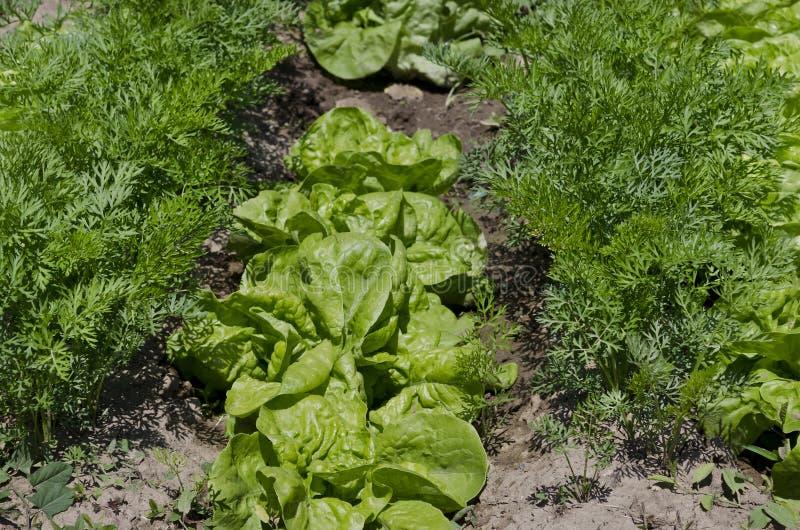 Растя био салат в северной Болгарии стоковые изображения rf