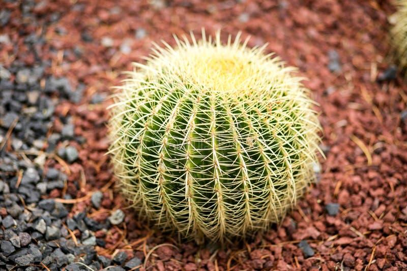 Растя кактус бочонка стоковое фото rf