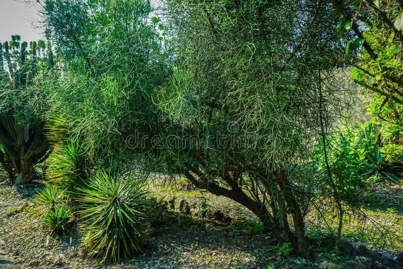 Редкий кактус завода с небольшими лист или хоботом в утесе или каменная земля в bogor Индонезии стоковые изображения rf