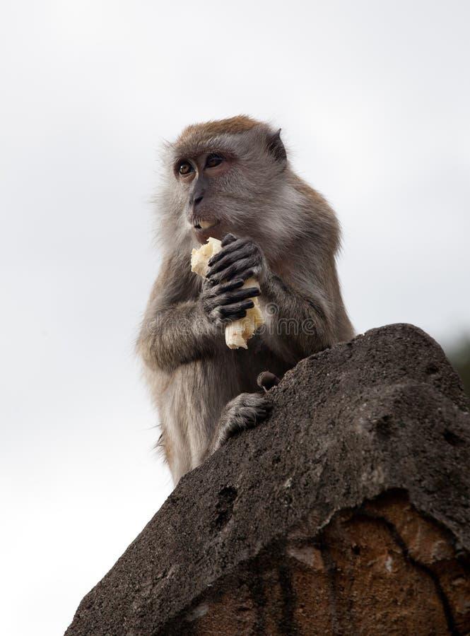 Редкий красивый портрет крупного плана одной обезьяны держа еду сидя на утесе внутри освещает контржурным светом, против неба стоковые фото