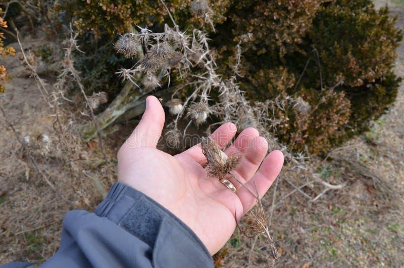 Рука с засорителем удерживания кольца золота или семенем wildflower стоковые фотографии rf