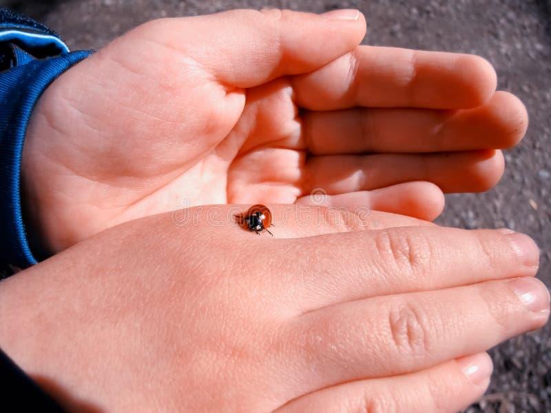 Руки младенца держа ladybird стоковое фото rf
