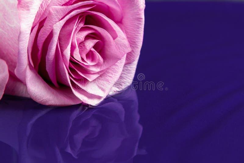 Роза лежит на поверхности воды с легкими пульсациями стоковые изображения rf