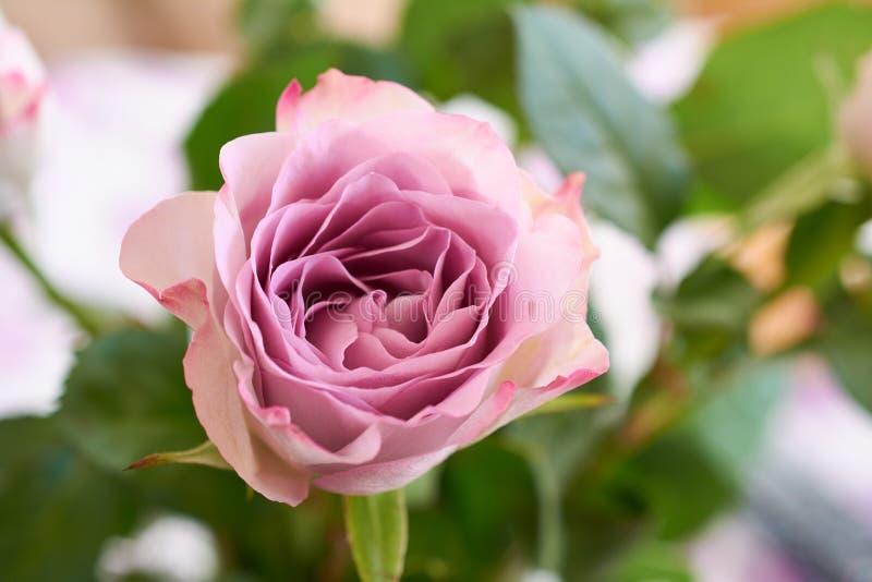 розы пука розовые Сирень в реальном маштабе времени подняла с чувствительными лепестками стоковое фото