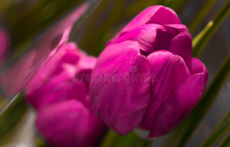 Розовые закрытые тюльпаны лепестков закрывают вверх по съемке макроса, стоковая фотография rf