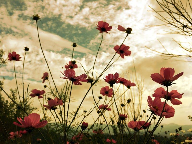 Розовые цветки космоса зацветая в саде с мягким солнечным светом неба стоковое фото rf