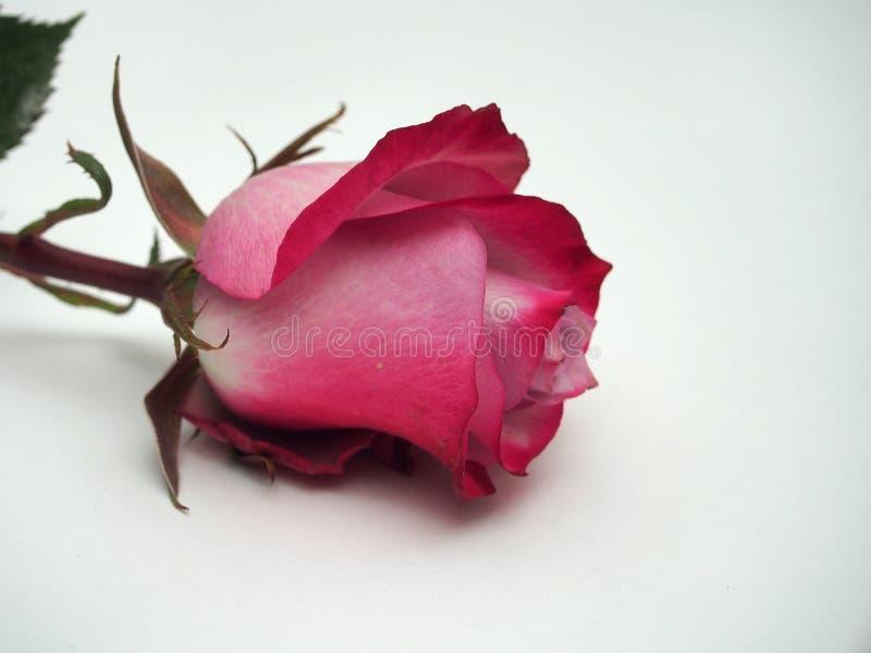 Розовый цветок лежит на белой предпосылке Лепестки розового бутона стоковое фото rf