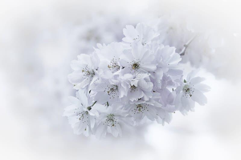 Романтичное дерево весны диких вишневого дерева или яблони в зацветать стоковое фото rf