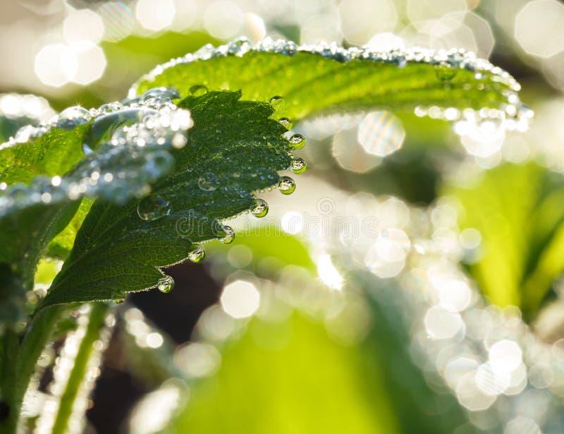 Роса под листьями на поле клубники стоковое изображение rf