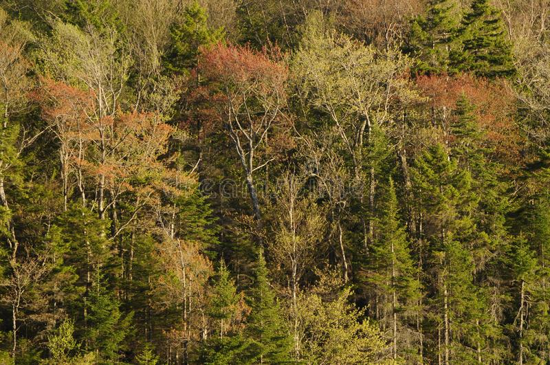 Рост на деревьях твердой древесины, западный район дикой природы весны озер Канад, парк штата Adirondack, Нью-Йорк США стоковые изображения rf