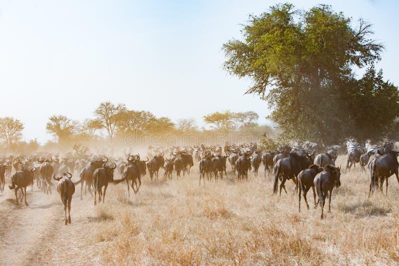 Ñu de funcionamiento en dustcloud en la sabana del llano de Serengeti, Tanzania imágenes de archivo libres de regalías
