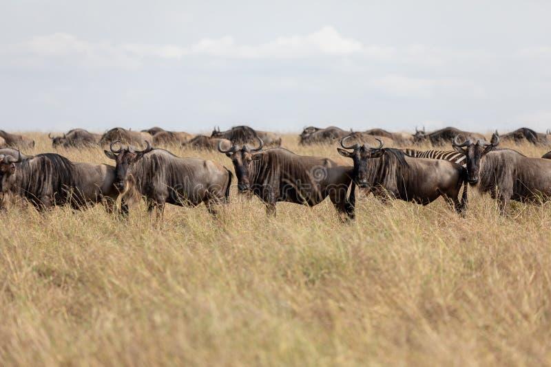 Ñu en los llanos de Masai Mara, Kenia, África fotografía de archivo