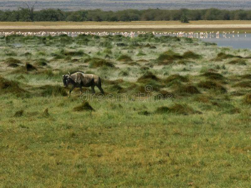 Ñu que camina cerca de un lago en el amboseli, Kenia imagen de archivo libre de regalías