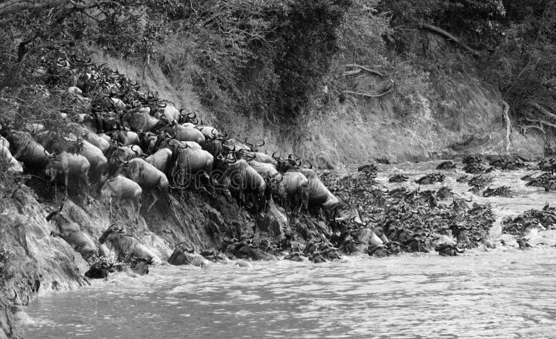 Ñu que cruza un río en el Masai Mara, Kenia Negro y fotografía de archivo