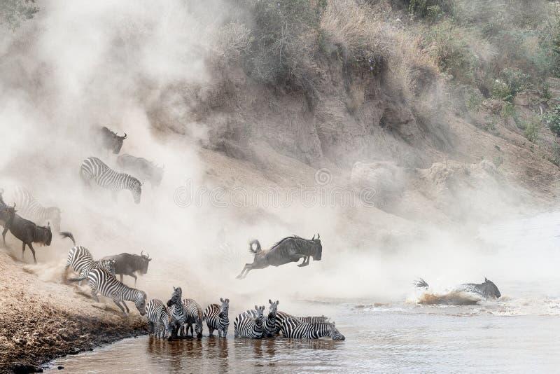 Ñu y cebra Mara River Crossing imagen de archivo libre de regalías