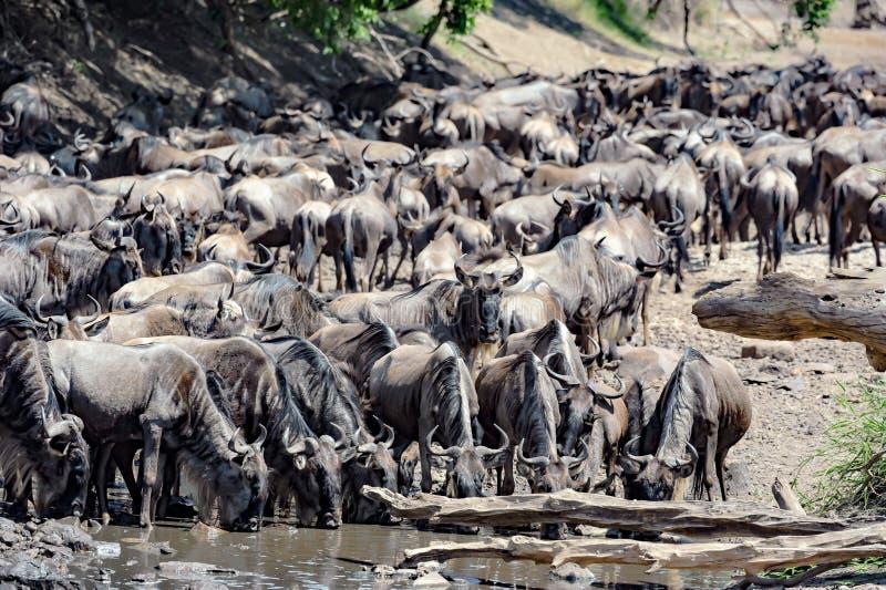 Ñus en el gran tiempo de la migración en el waterhole Serengeti, África, hundrets de ñus junto fotografía de archivo