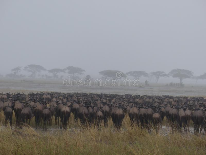 Ñus en un día lluvioso en Serengeti imagen de archivo